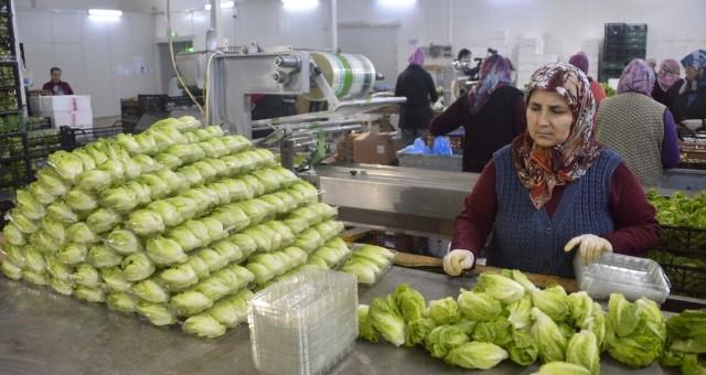 Serik'te Üretilen Minyatür Sebzeler İhraç Ediliyor