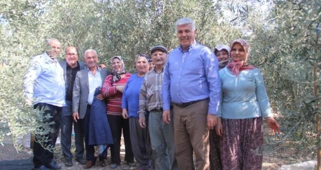 Başkan Çalık, Zeytin Hasadı Yaptı