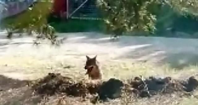 Hayvanat Bahçesinden Kaçan 'Kurt' Aranıyor