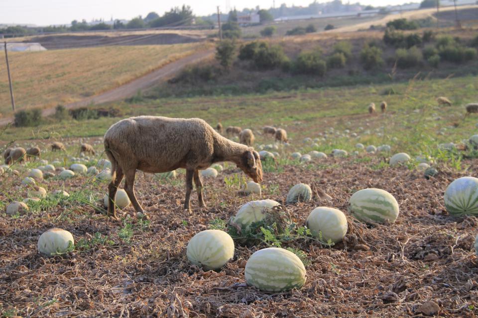 Sıcakta tarlada kalan karpuz koyunlara yaradı