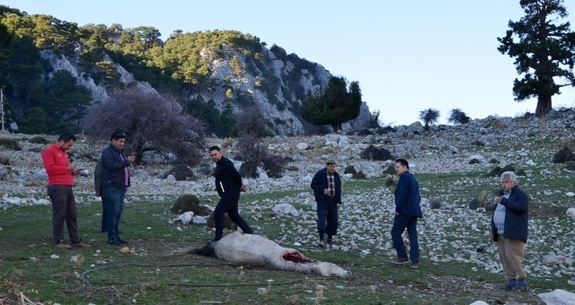 Kurtlar Saldırdıkları Atı Parçaladı
