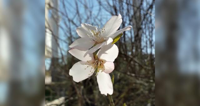 Serik'te Bademler Çiçek Açtı