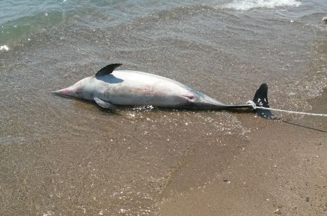 Sürat Teknesinin Çarptığı Yunus Balığı Öldü