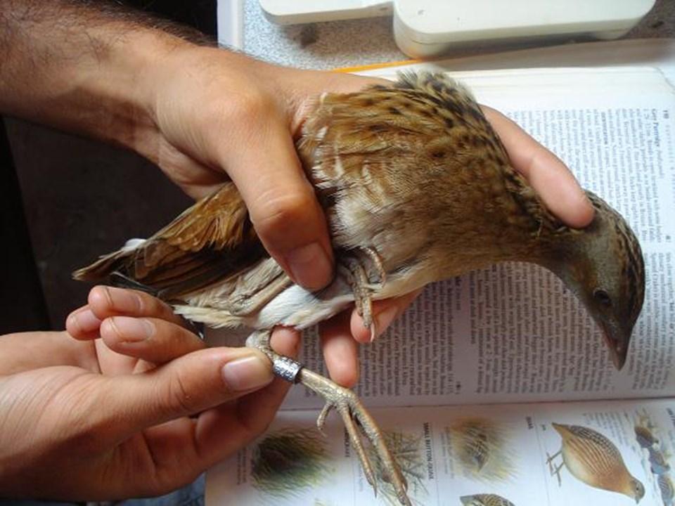 1500'den fazla kuş halkalandı